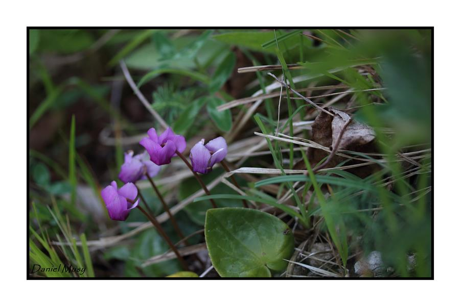 Cyclamen purpurascens_14-06-22_0002_GF.jpg