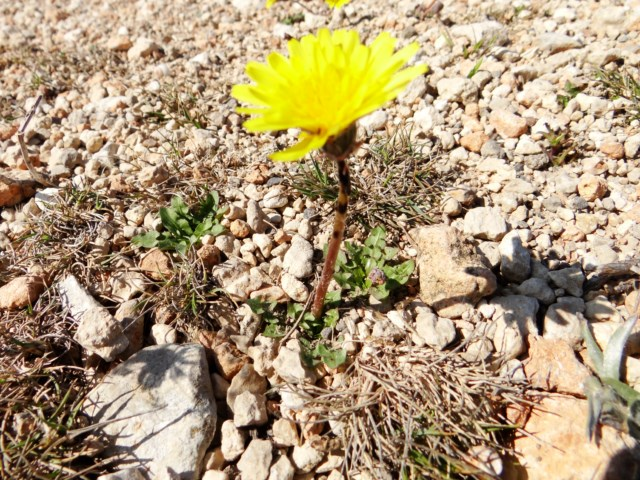 Taraxacum section scariosa Leucate 03 10 14 (112) [640x480].JPG