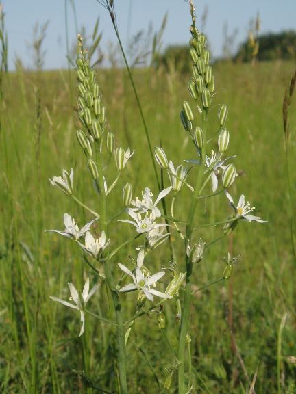 Ornithogalum narbonense syn Loncomelos narbonense.jpg