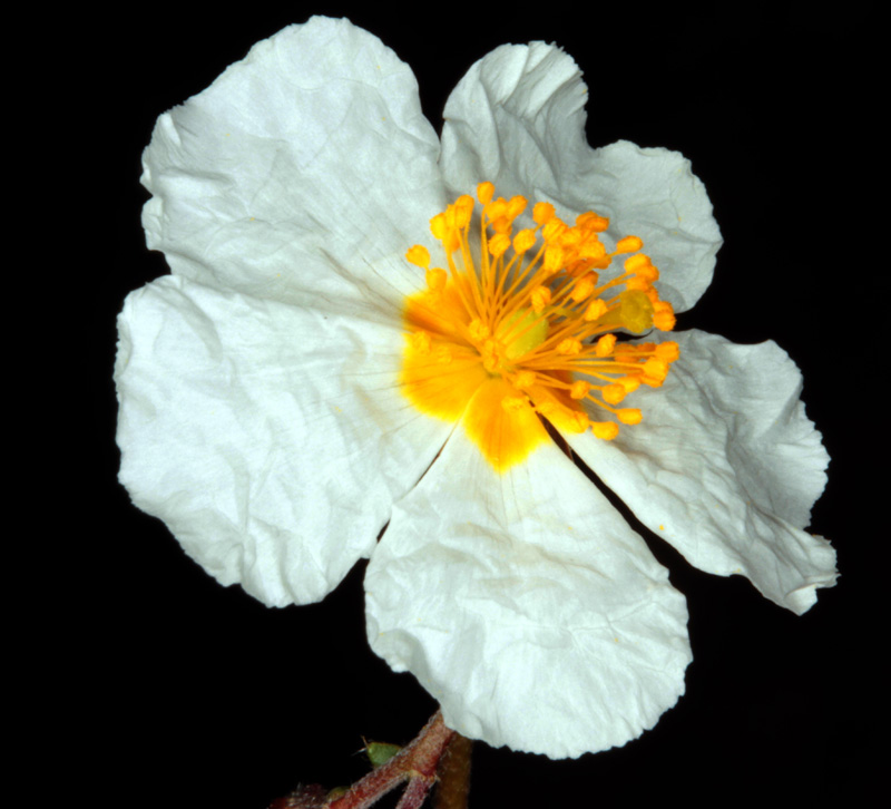 Cistacées - Helianthemum sp 1 - Nord Sra Nevada red 3.jpg