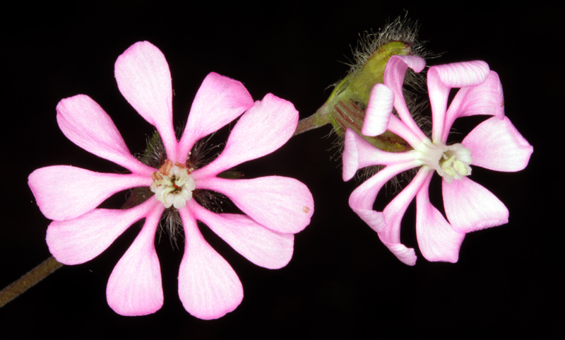 Caryophyllacées - Silene colorata red.jpg
