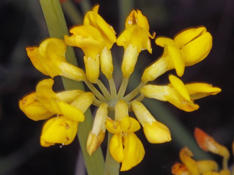 Fabacées - Coronilla juncea red 2.jpg