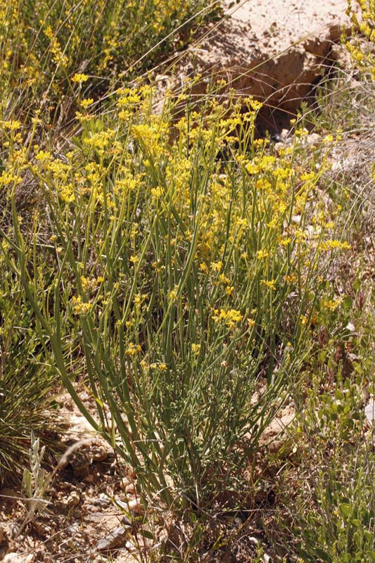 Fabacées - Coronilla juncea red.jpg