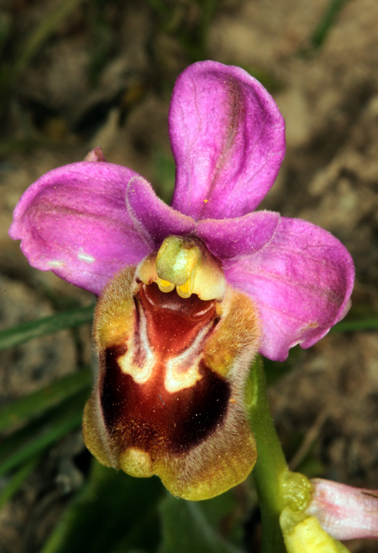 Orchidacées - Ophrys tenthredinifera red.jpg
