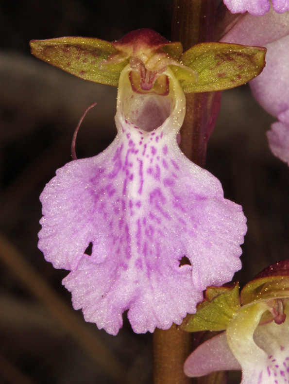 Orchidacées - Orchis cazorlensis - red.jpg
