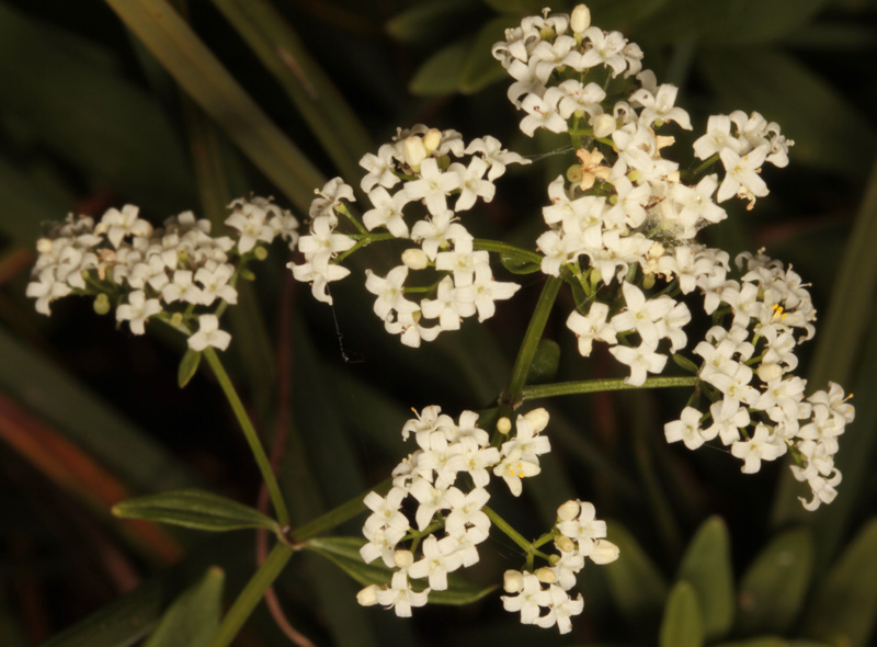 Rubacées - Galium broterianum - red 2.jpg