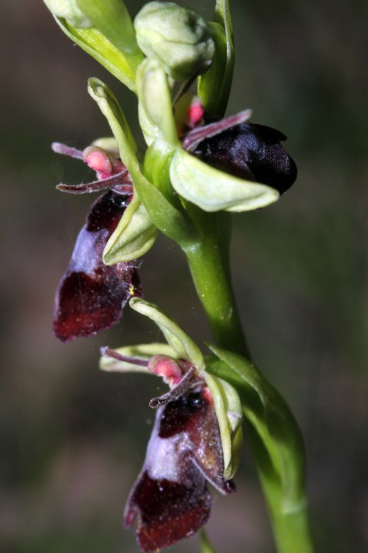 Orchidacées - Ophrys insectifera Grand Causse red1.jpg