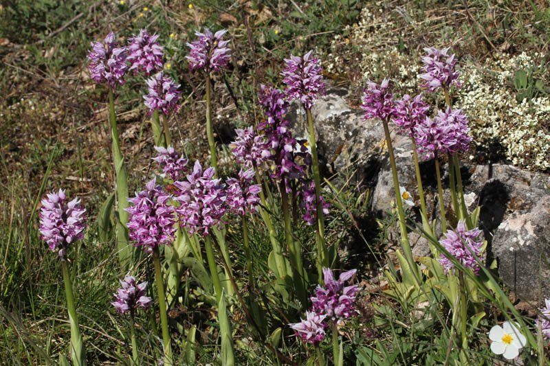 Orchidacées - Orchis militaris Grand Causse red 1.jpg
