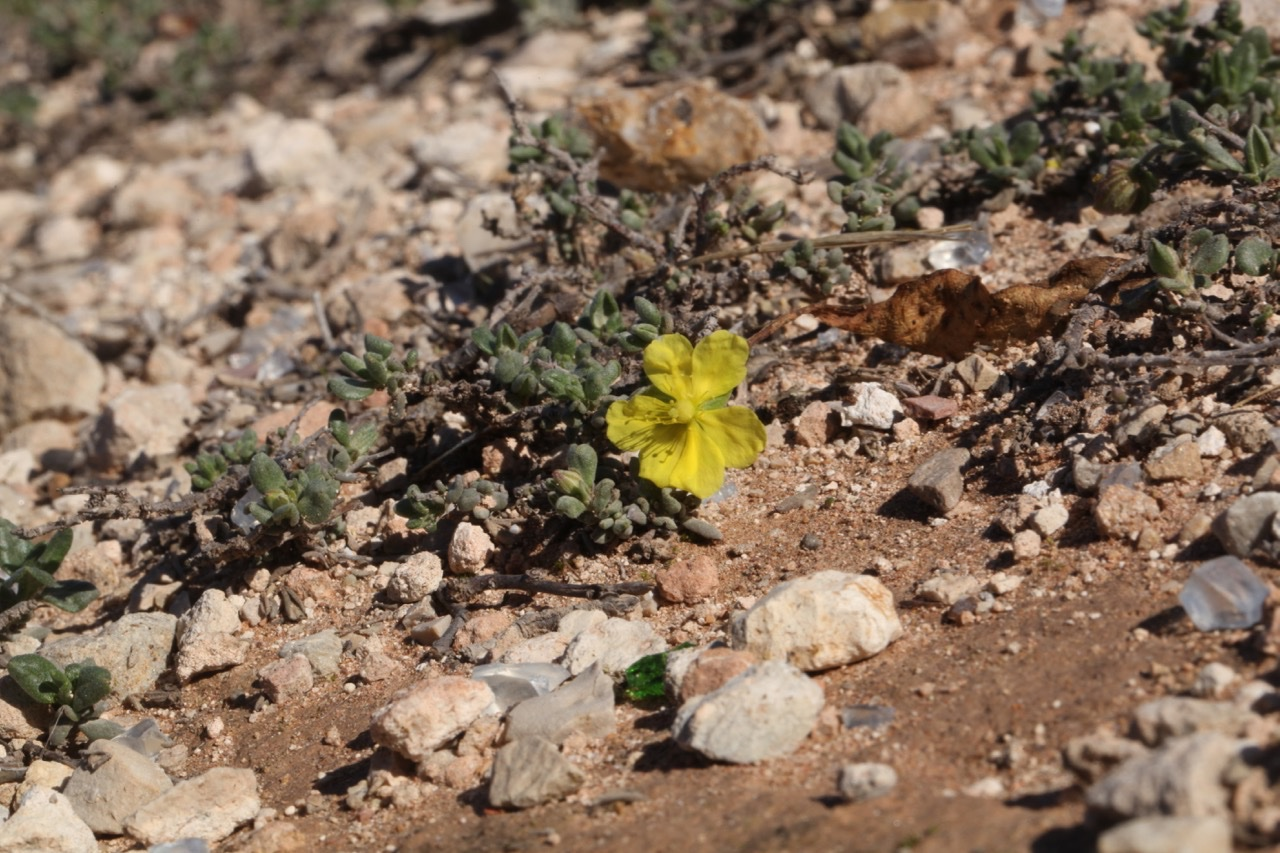 Helianthemum cinereum (2).jpg